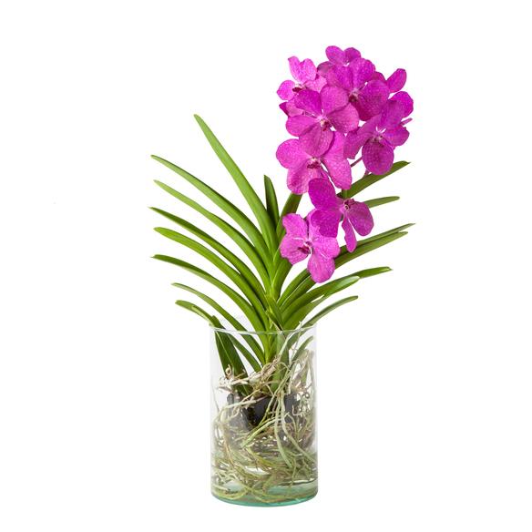Vanda Orchidee in Violett in Glasvase