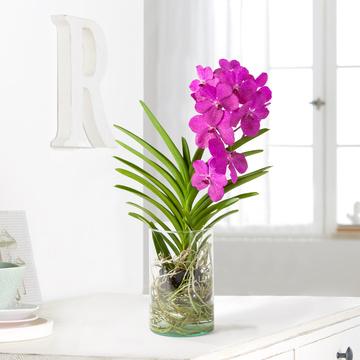 Vanda Orchidee in Violett mit Glasvase