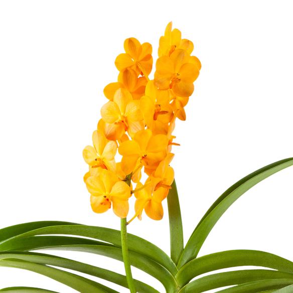 Vanda Orchidee in Gelb mit Glasvase
