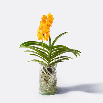 Vanda Orchidee Gelb mit Glasvase