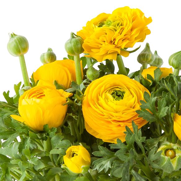 Ranunkel in Gelb im Übertopf