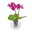 Orchidee Water Plant Sans Soins in Vase