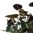 Anthurie in Schwarz mit Trauer-Schleife