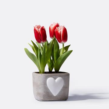 Tulpe in Rot mit Motiv-Übertopf