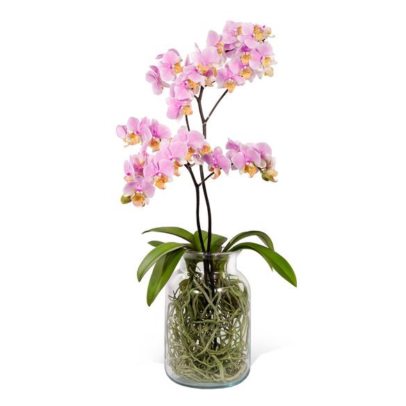 Phalaenopsis mit Luftwurzeln in Glasvase