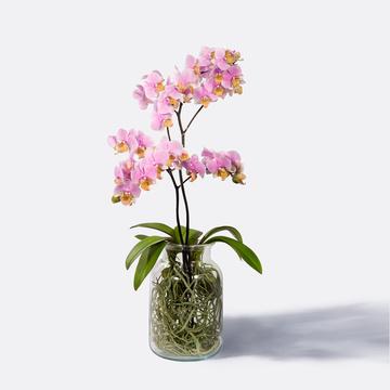 Phalaenopsis mit Luftwurzeln mit Glasvase