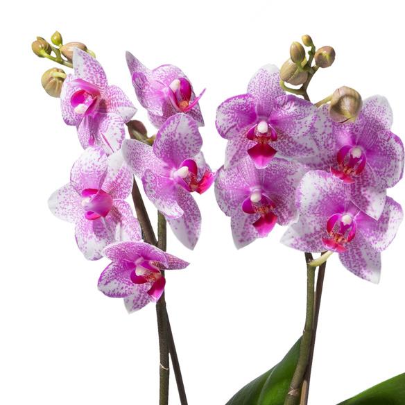 Orchidee in Rosa mit Keramik-Übertopf