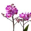 Orchidee in Pink mit Keramik-Übertopf