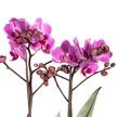 Orchidee in Violett im Design-Übertopf