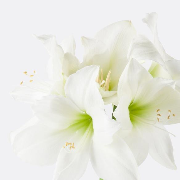 Amaryllis in Weiß mit Übertopf