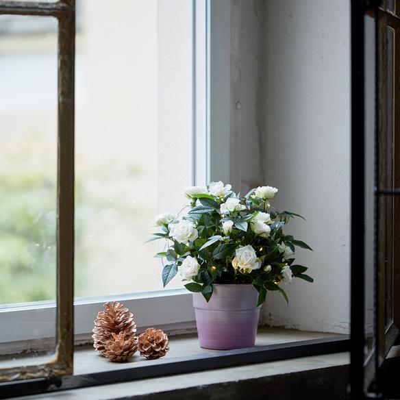 Topfrose in Cremeweiß mit LED-Lichterkette mit Keramik-Übertopf