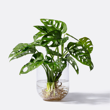Monstera Obliqua Water Plant mit Glasvase