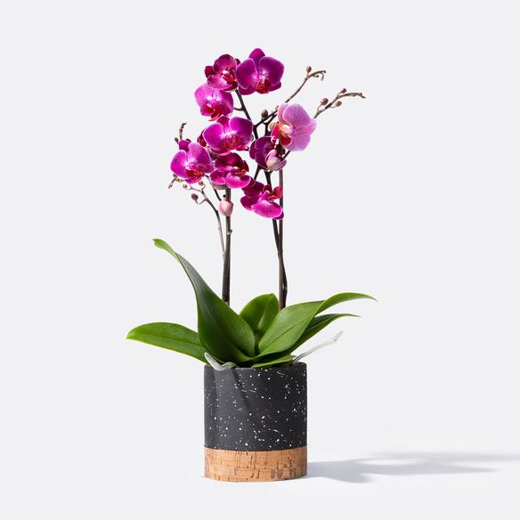 Orchidee in Violett mit Übertopf