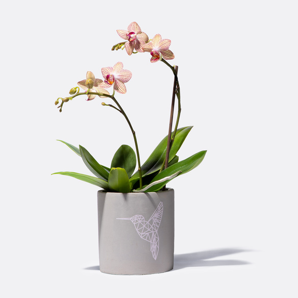https://static.blume2000.de/pictures/20002330/022_Orchidee-mit-Kolibri-Uebertopf.jpg