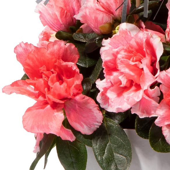 Azalee in Pink mit Design-Übertopf