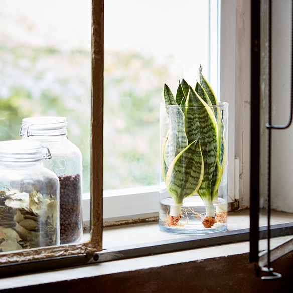Sanseveria Water Plant mit Glaszylinder