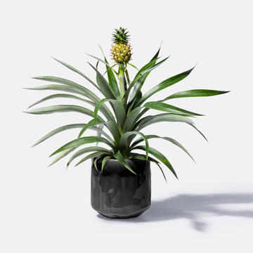 Ananas mit Keramik-Übertopf
