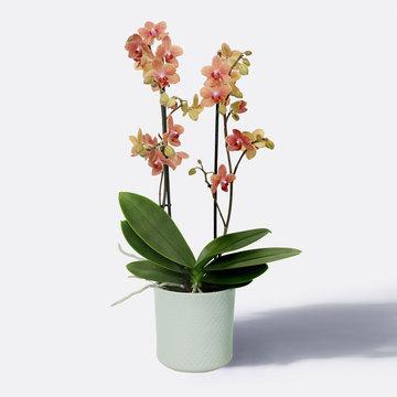 Orchidee in Apricot mit Übertopf Höhe: 60 cm