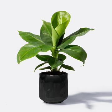 Banana Plant mit Keramikübertopf