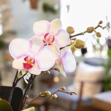 Orchidee My Monroe in Rosa
