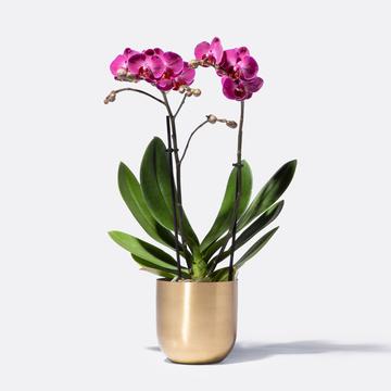 Goldzauber Orchidee in Pink mit Übertopf