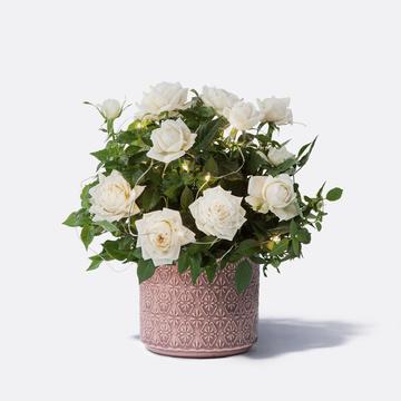 Winterleuchten Rose mit Übertopf mit Lichterkette