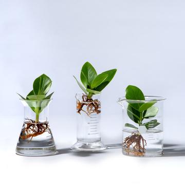 Water Plant Clusia mit Laborglas 3er Set