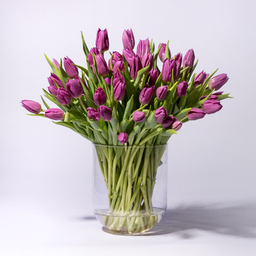 Tulpen Purple Prince 50 Stiele