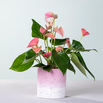 Anthurie Rosé mit Keramik-Übertopf
