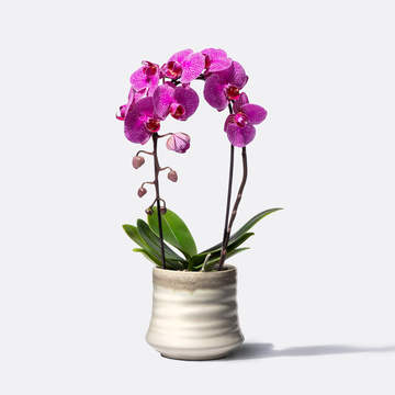 Orchidee Cascade in Lila mit Übertopf