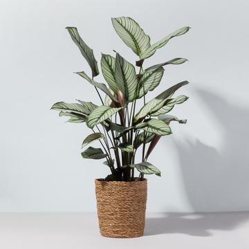 Grünpflanze Calathea White Star