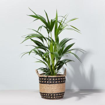 Grünpflanze Palme Kentia