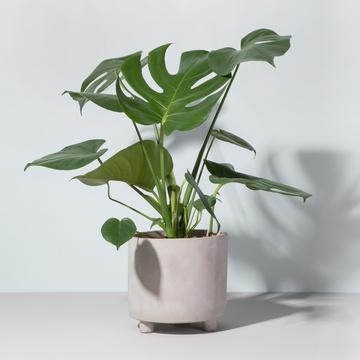 Grünpflanze Monstera Deliciosa