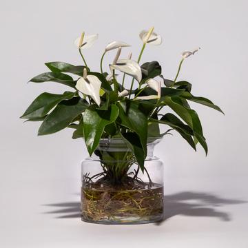 Water Plant Anthurie in Weiß mit Glasvase