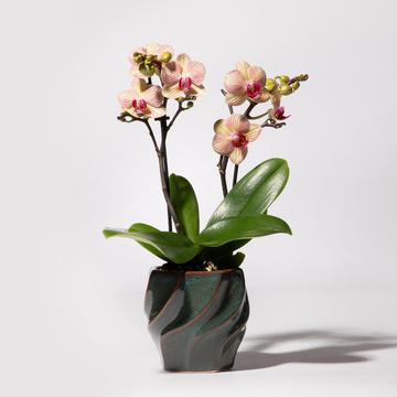 Orchidee in Orange mit Keramik-Übertopf