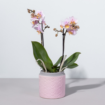 Orchidee in Pink mit Keramik Übertopf