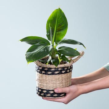 Bananenpflanze Musa mit Korb
