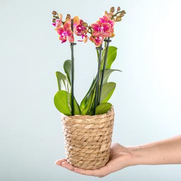 Orchidee in Orange mit Korb