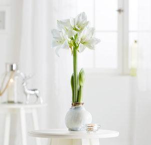 Pflanze Amaryllis No-Water in Weiss und Grün