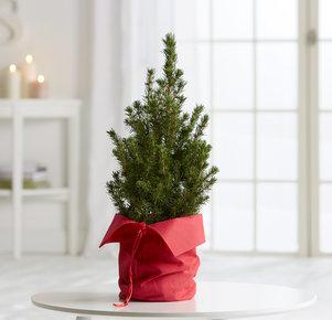 Pflanze Christmas Wishes in Rot und Grün