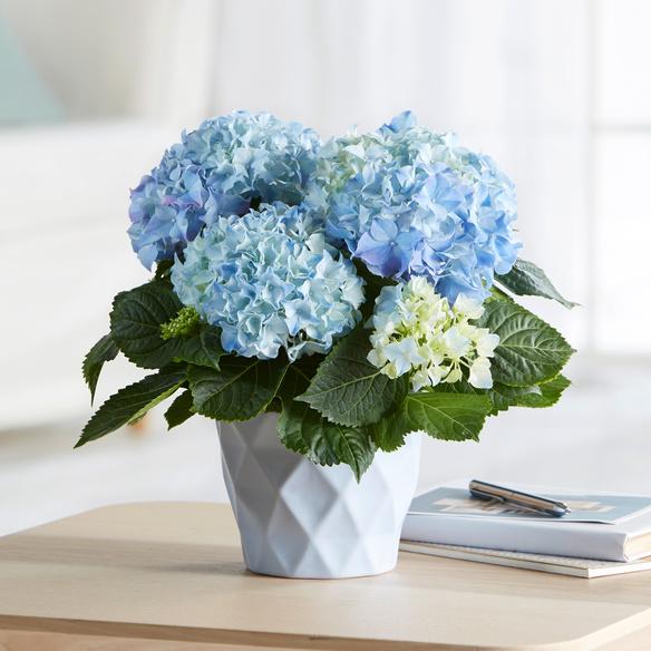 blaue hortensie magical revolution im hellblauen bertopf. Black Bedroom Furniture Sets. Home Design Ideas