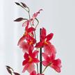 Orchidee Bon Moment im Übertopf