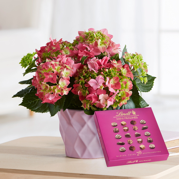 rosa hortensie magical revolution im ros bertopf mit lindt mini pralin s. Black Bedroom Furniture Sets. Home Design Ideas
