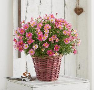 Margerite als Busch im Weidekorb in Rosa, Pink und Grün