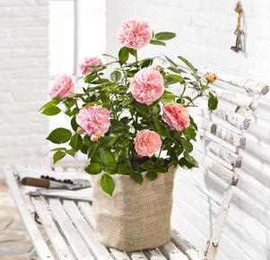 k nigliche edel rose chippendale im jutesack 97927. Black Bedroom Furniture Sets. Home Design Ideas