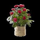 """Pflanze Statement-Rose """"Schön wie die Liebe™"""" im Jutesack"""