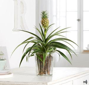 Pflanze Ananas-Pflanze in Gelb, Orange, Grün und Braun