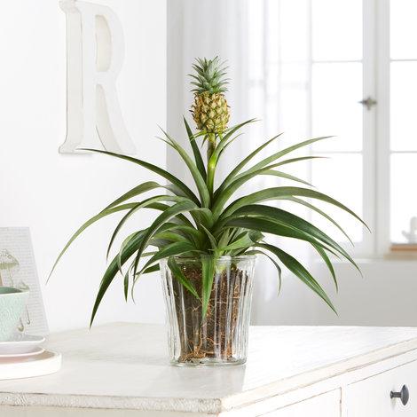 Pflanze Ananas-Pflanze in Gelb und Grün