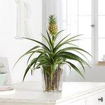 Ananas-Pflanze im Glasübertopf