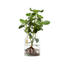 Clusia Water Plant in Eco Vase